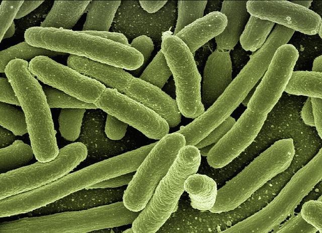 Так, например, здоровые Coli - бактерии вырабатывают также и важные витамины. Благодаря этим Coli - бактериям слизистые оболочки приобретают резистентность к инфекциям